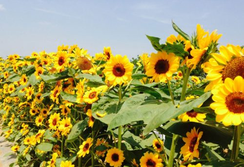 Giant Sunflower Maze In Pangasinan